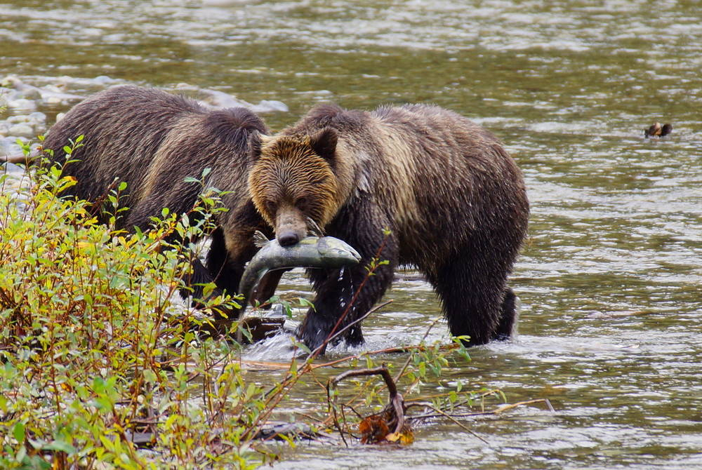Grizzly bear, Vancouver Island