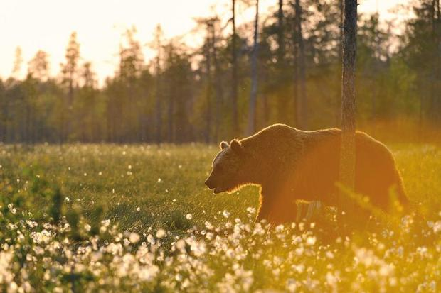 Brown bear roaming the Finnish forest