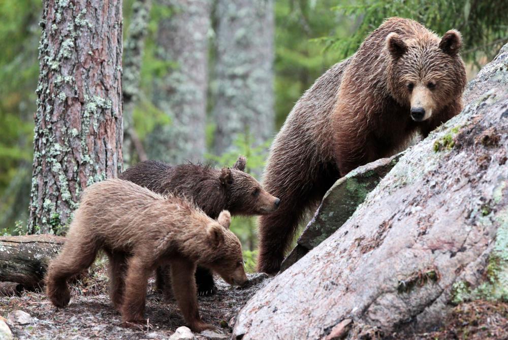 Brown Bears in Norway's Wild Nordic Bear Hide