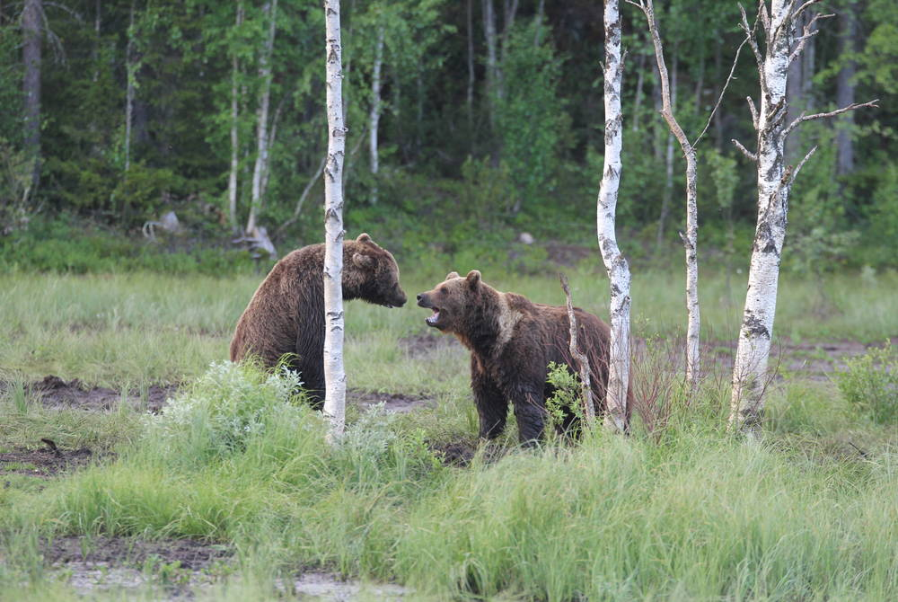 Bear watching, Kuusamo