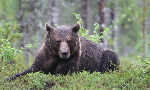 Meet the wildlife of Scandinavia