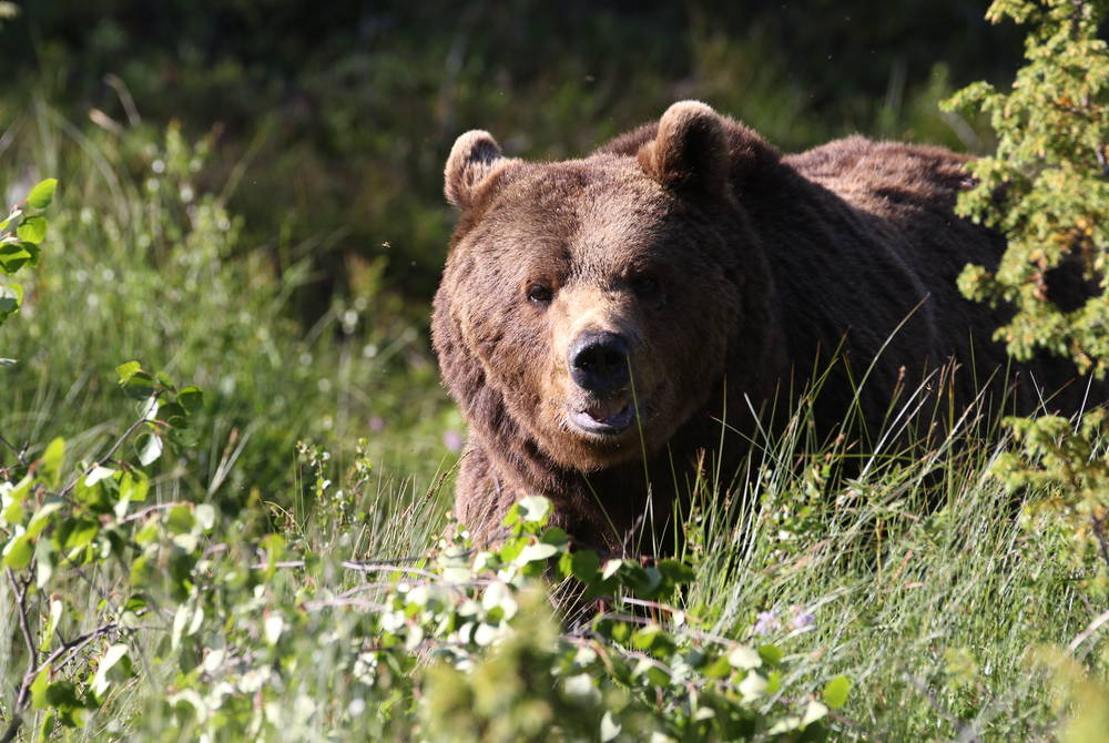 Bear Watching in Lapland