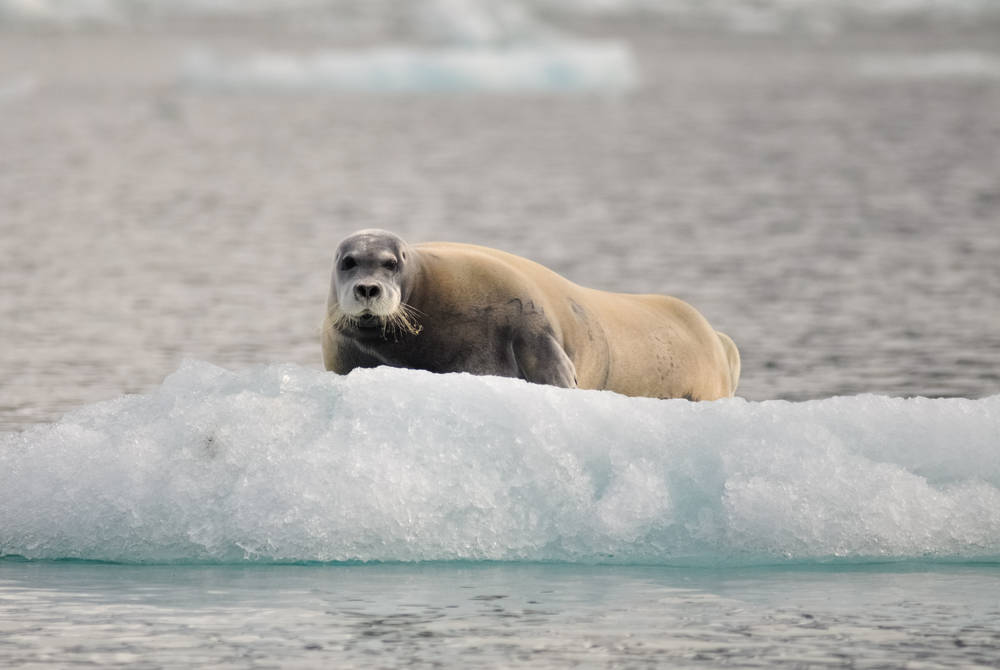 Bearded Seal in Svalbard