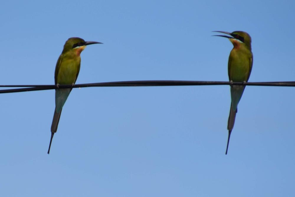 Bee-eaters perched in Kerala