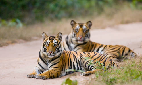 Bengal Tigers, Bandhavgarh National Park, India
