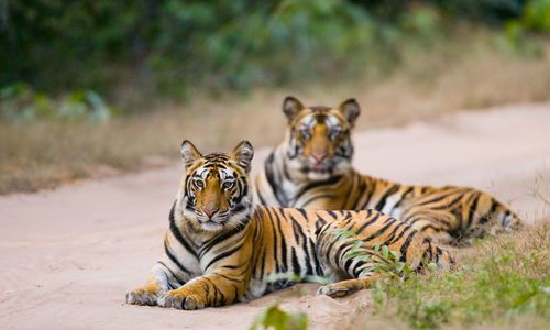 Bengal Tigers, Bandhavgarh National Park