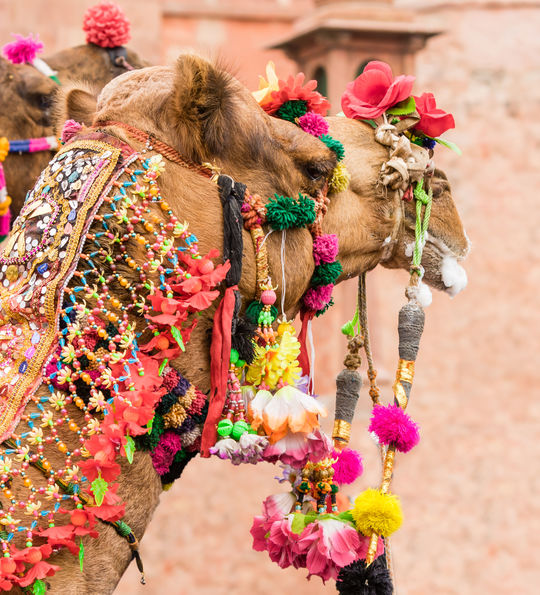 A decorated camel in Bikaner