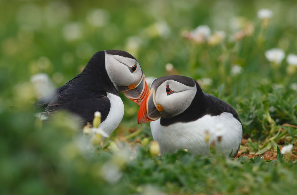 Puffins courting in Norway