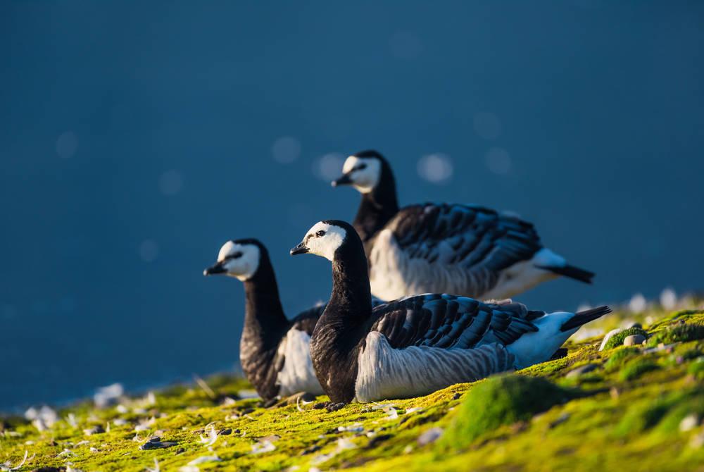 Arctic geese, Svalbard