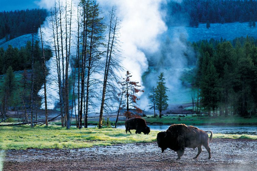 Bison, Yellowstone National Park, Wyoming