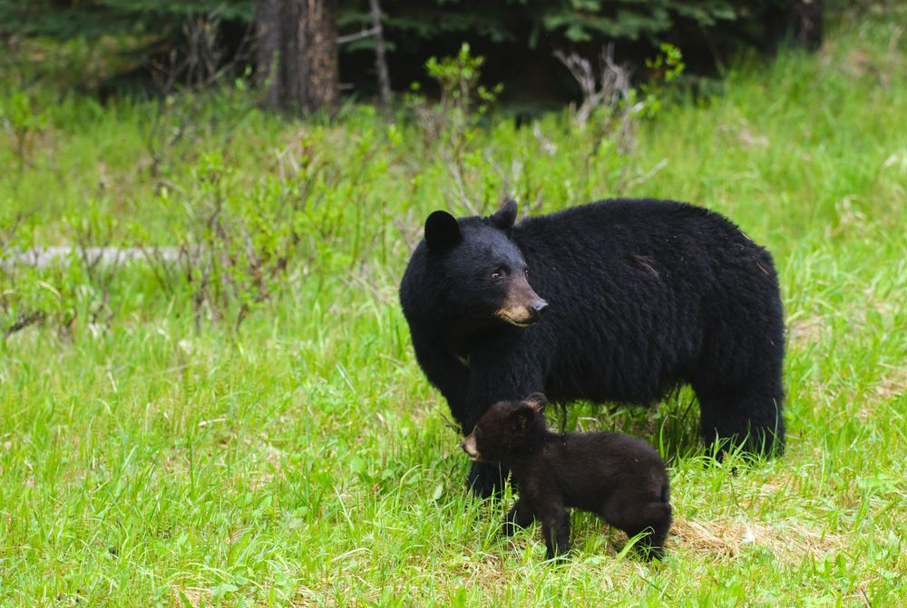 Black Bears, Jasper National Park
