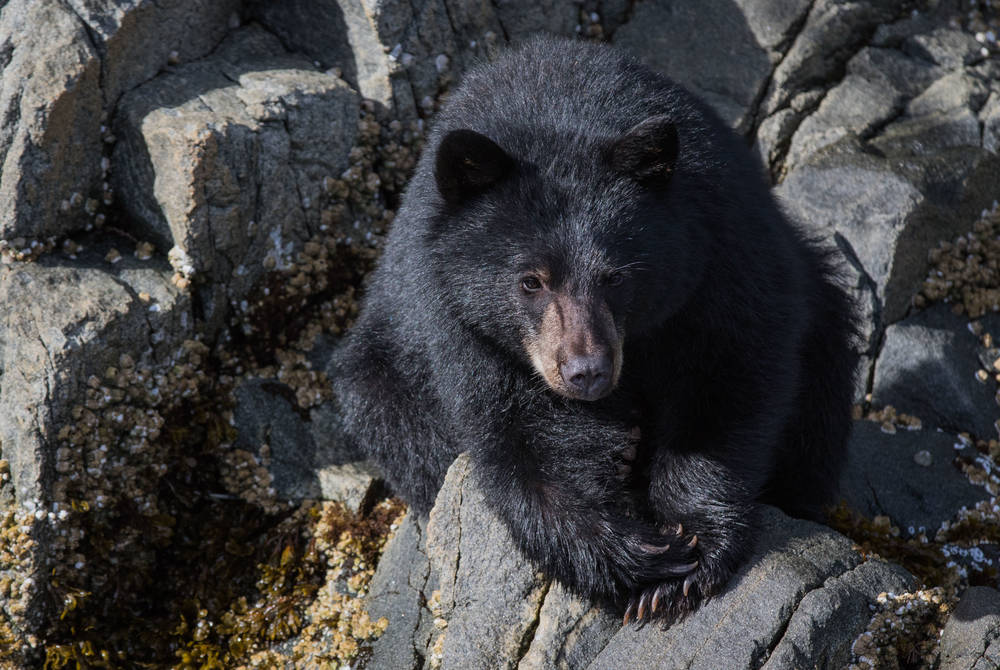 Black bear, Spirit Bear Lodge