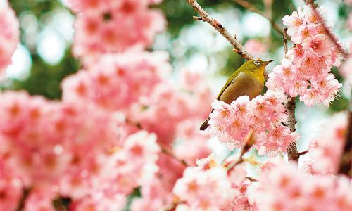 Blossom Season in Shikoku