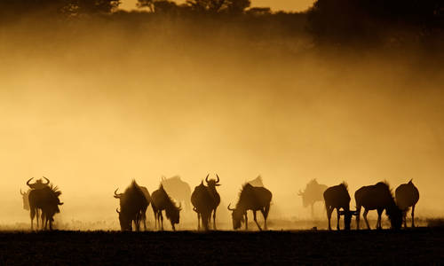 Blue wildebeest, Kalahari desert, South Africa