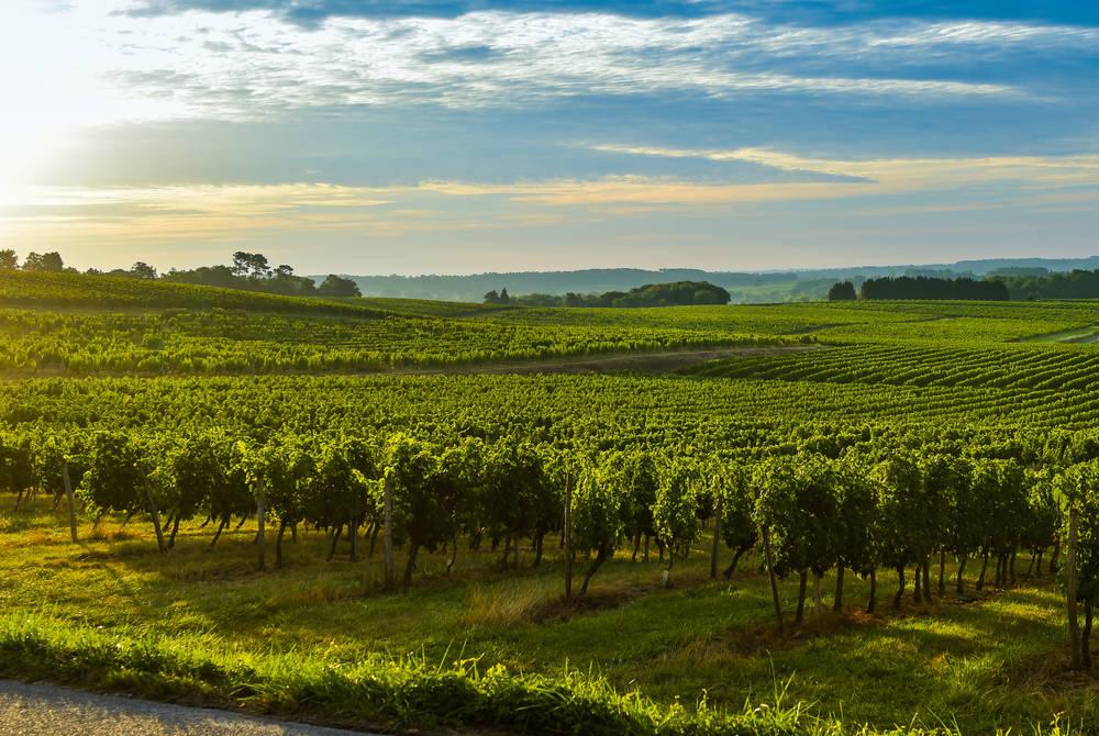 Bordeaux Vineyard-France