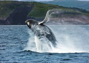 Breaching Whale in Newfoundland