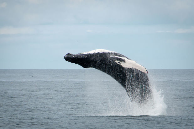 Breaching humpback whale near Reykjavik