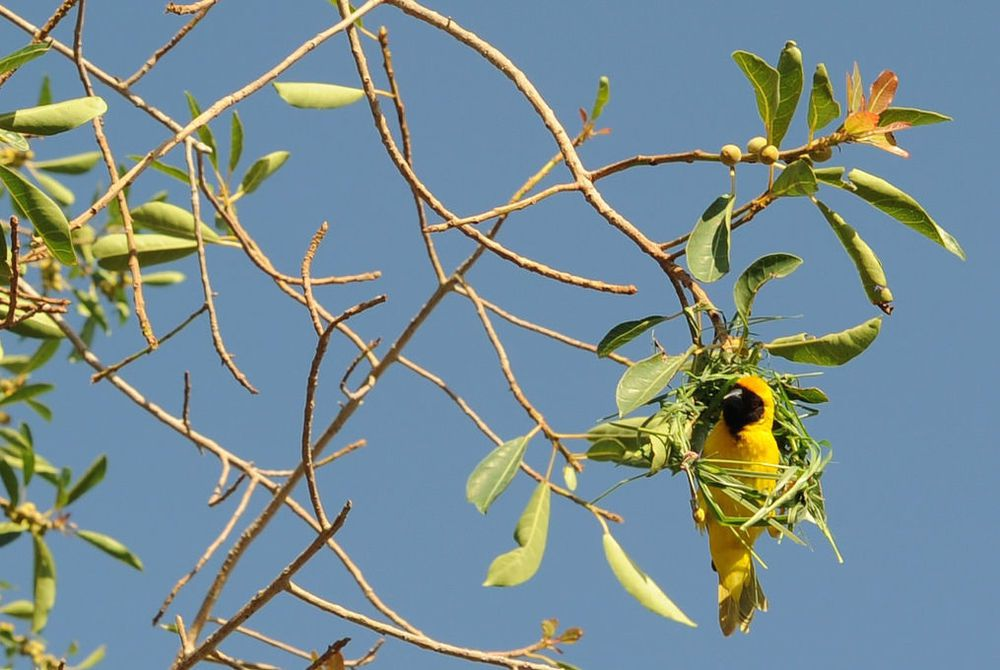 Bright yellow weaver bird perched in a tree