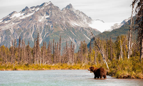 Brown Bear Hunting for Fish, Alaska