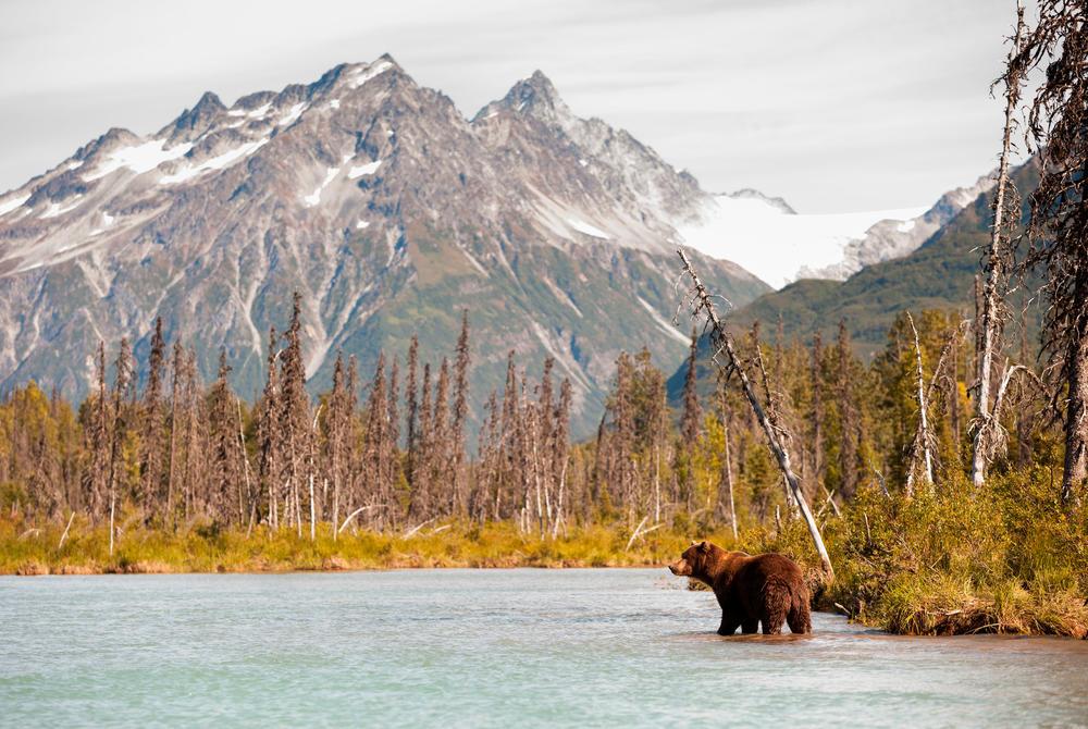 Bear in the water in Alaska USA