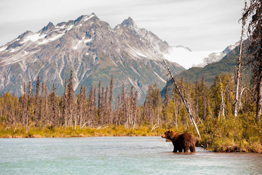 Brown bear hunting for fish, Alaska