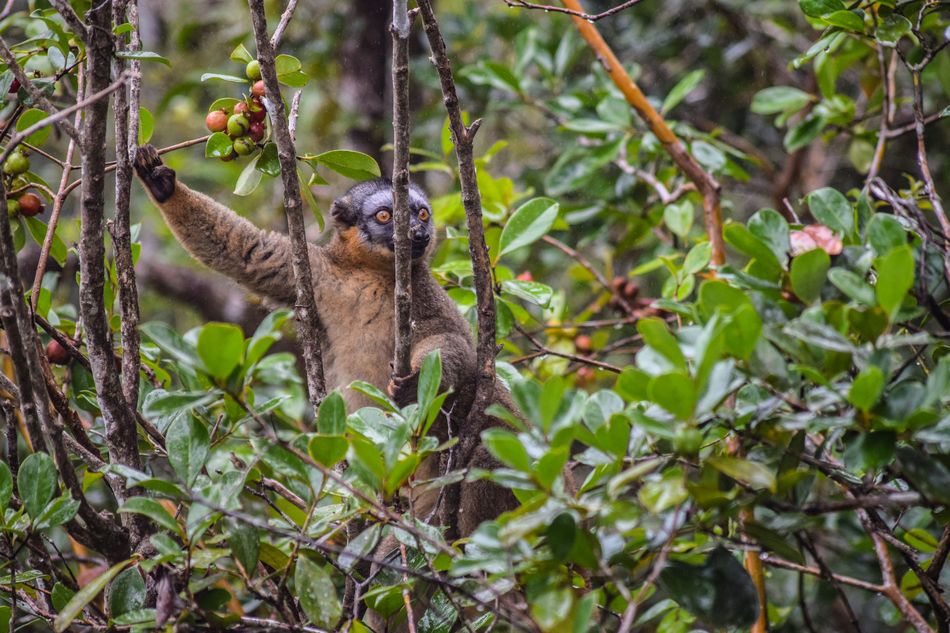 Borwn Lemur in Ranomafana