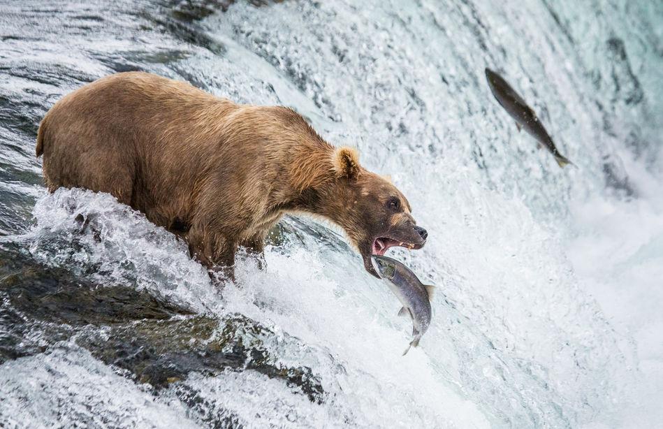 Brown bear catching salmon in Katmai National Park, Alaska