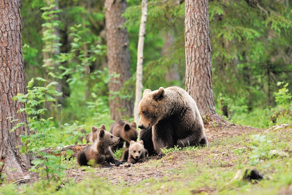 Brown bear with cubs in Finland
