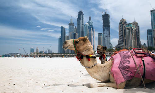 Camel, with Dubai in the background