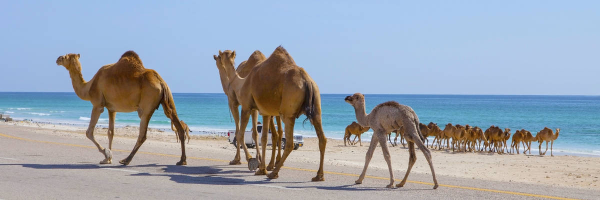 Camels, Salalah, Oman