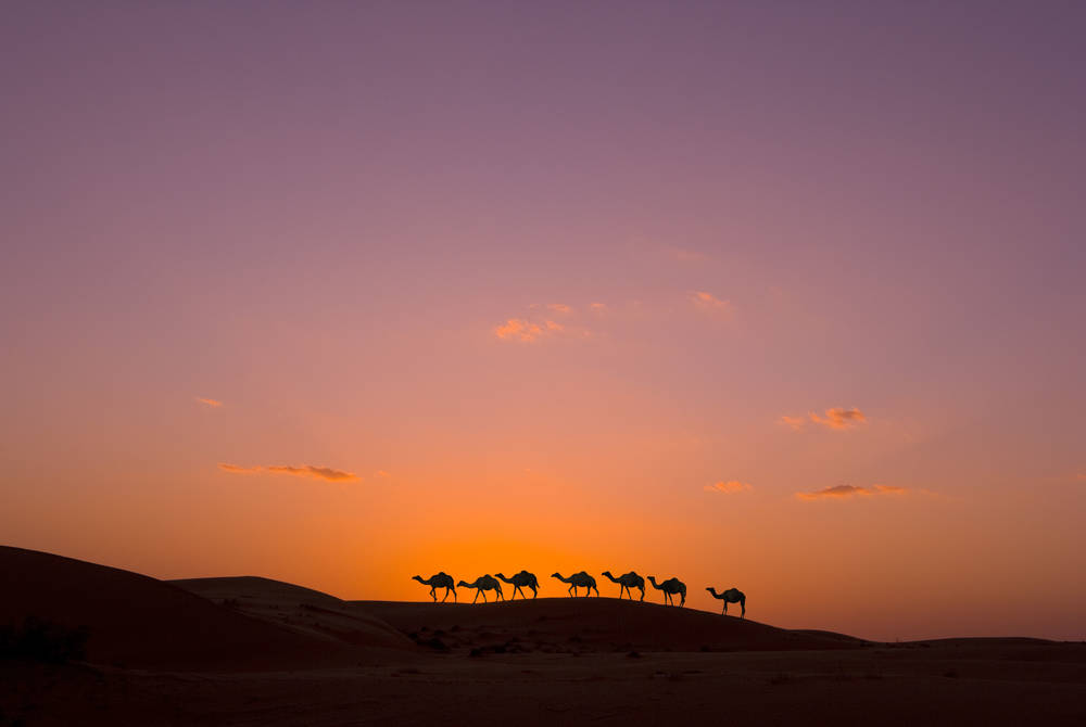 Camels, Wahiba Sands