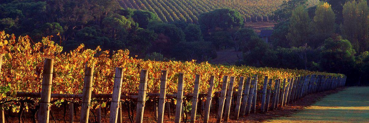 Cape Lodge vineyards