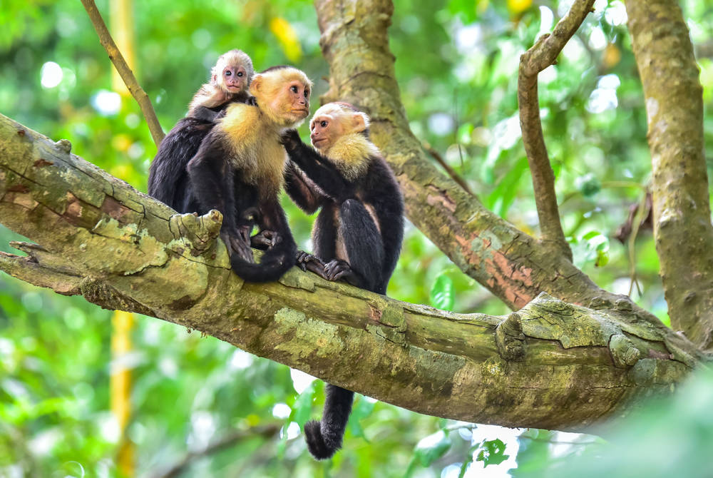Capuchin monkeys, Guanacaste