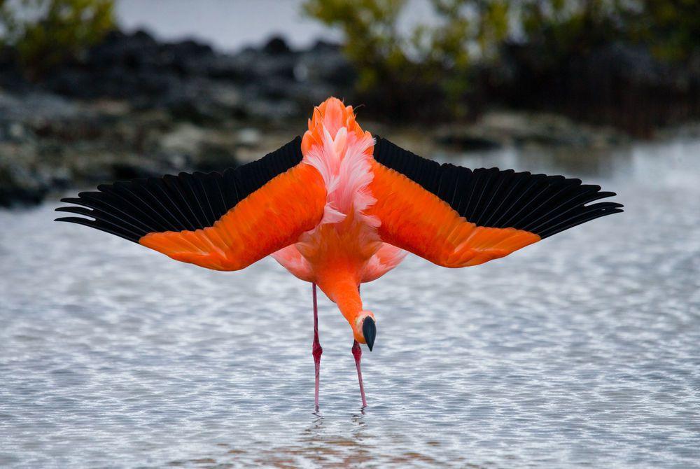 Caribbean flamingo in the Galapagos