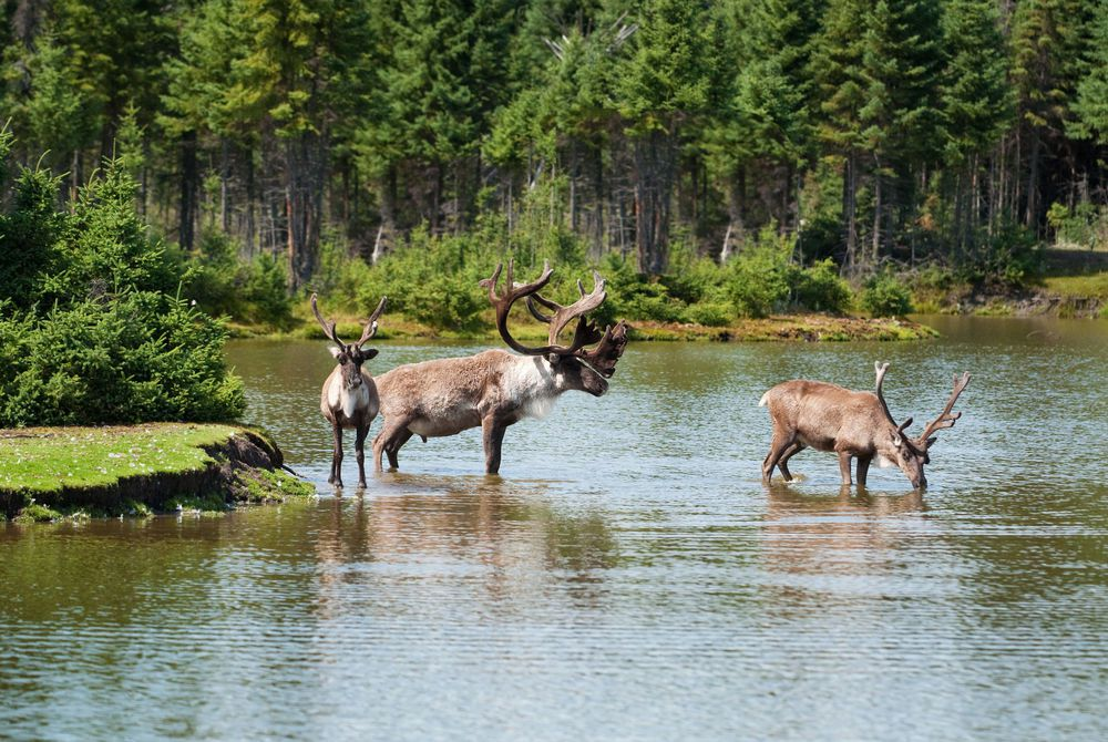 Caribou, Canada