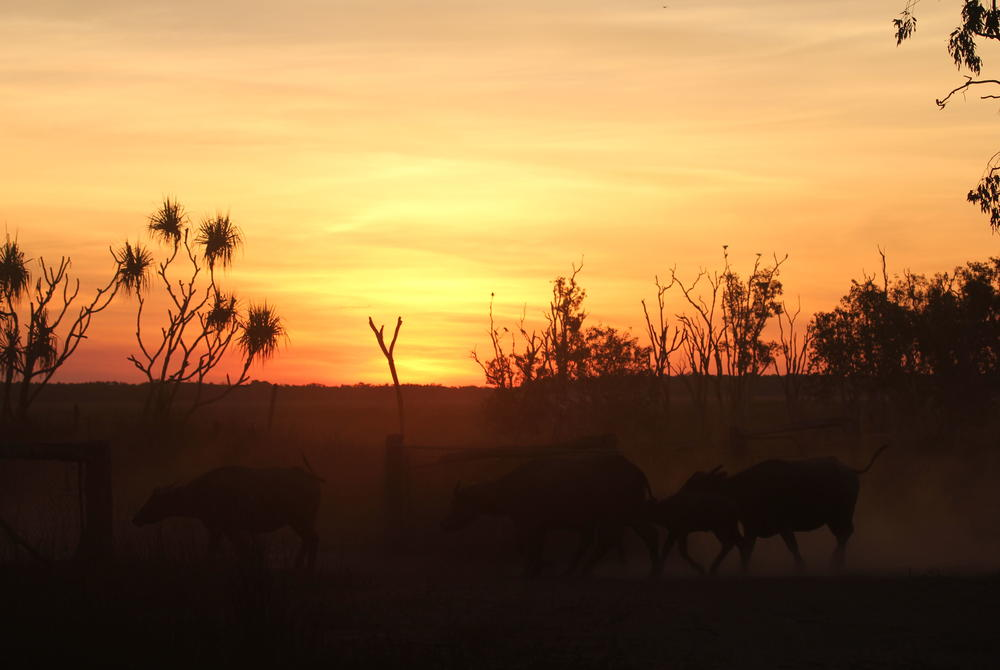 Cattle Ranch at Bullo River, Australia