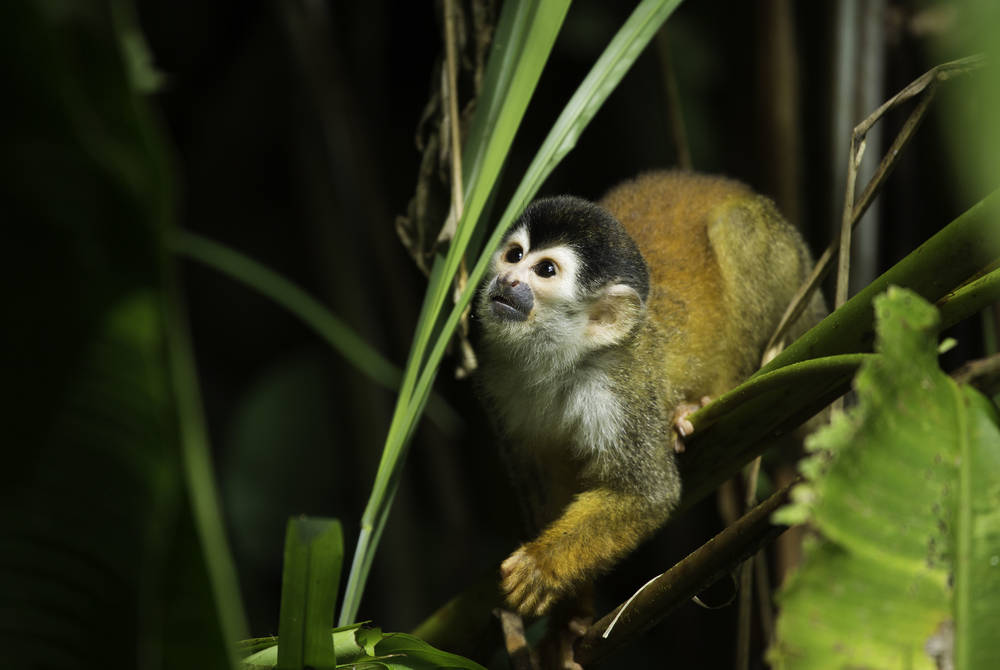 Central American squirrel monkey in Corcovado National Park, Osa Peninsula