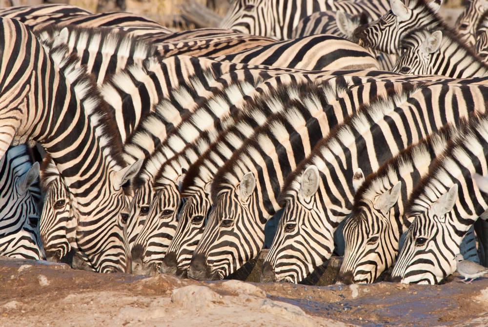 Chapman's zebra, Damaraland