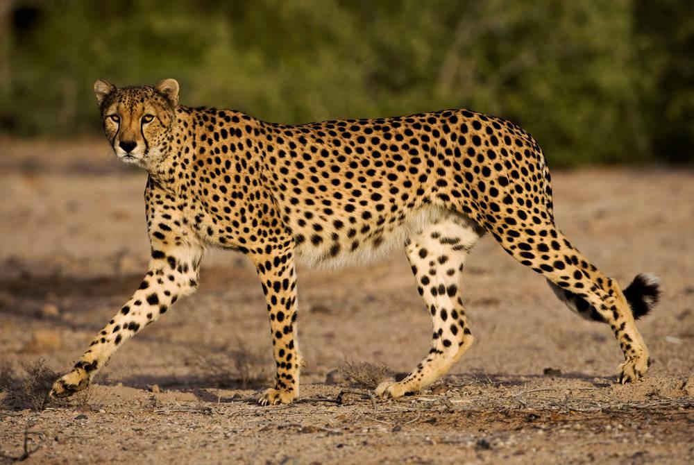 Cheetah, Anantara Desert Islands Resort & Spa