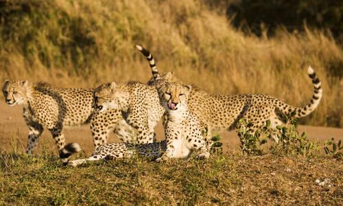 Cheetah, Phinda Reserve