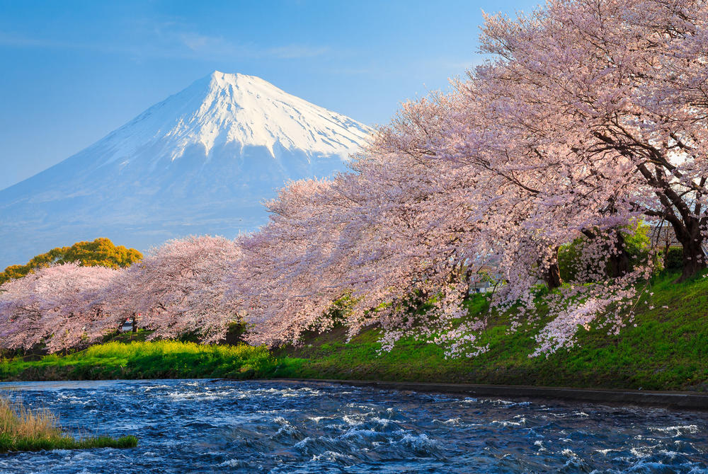Cherry blossoms near Mt Fuji