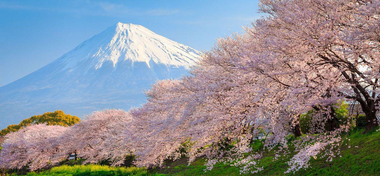 Cherry Blossom, Mt Fuji