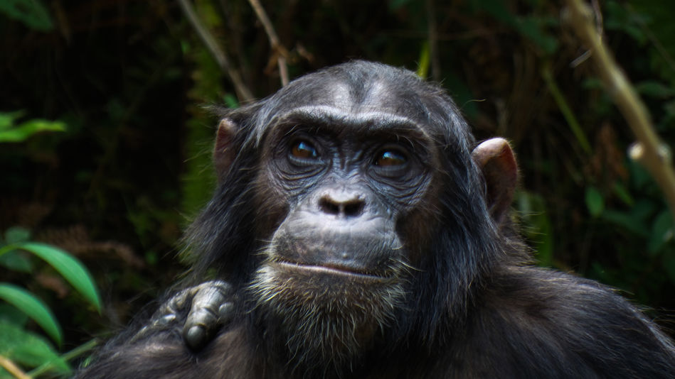 Chimp in Tanzania