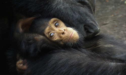 Chimp, Tanzania