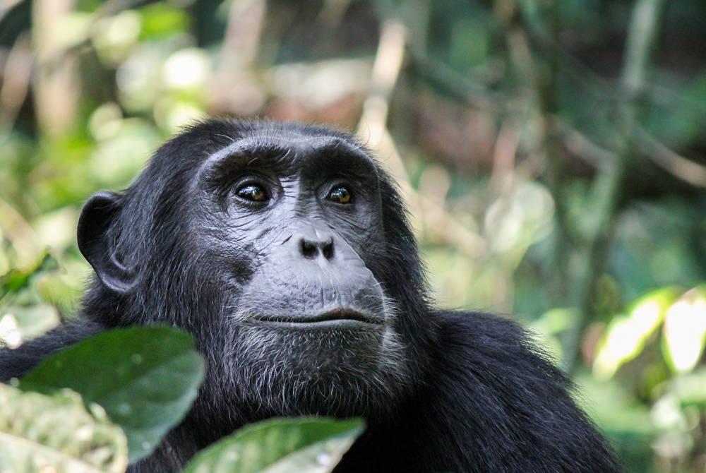 Chimpanzee, Nyungwe, Rwanda