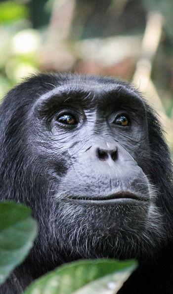 Chimpanzee in Rwanda's Nyungwe National Park