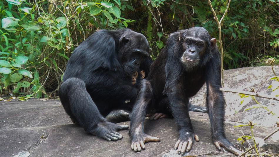 Tanzania chimp trekking