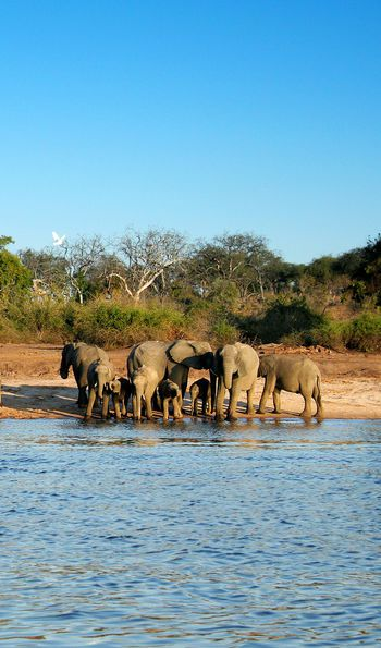 Elephants at Chobe River, Botswana, Africa