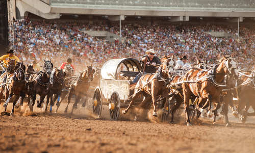 Chuckwagon Racing, Calgary Stampede