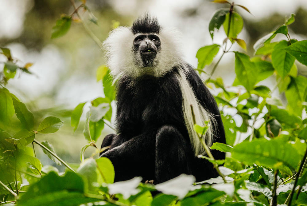 Colobus monkey trek, One & Only Nyungwe House, Rwanda